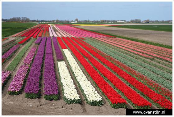 Coll2007-01 Bollenvelden omgeving 't Zand - Kop van Noord-Holland 125_8805.jpg