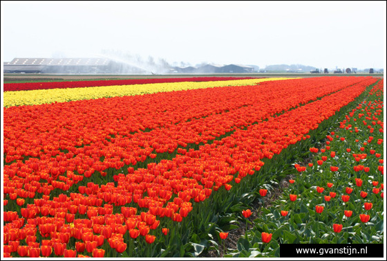 Veld01 Bollenvelden Noord-Holland<br><br> IMG_1061.jpg