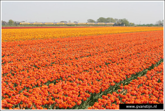 Veld02 Bollenvelden Noord-Holland<br><br> IMG_1086.jpg