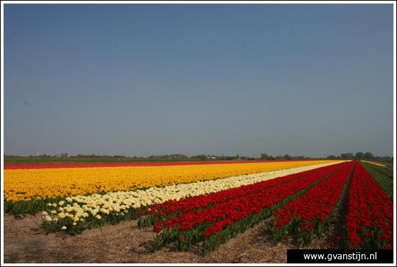 Veld02 Bollenvelden Noord-Holland<br><br> IMG_1099.jpg