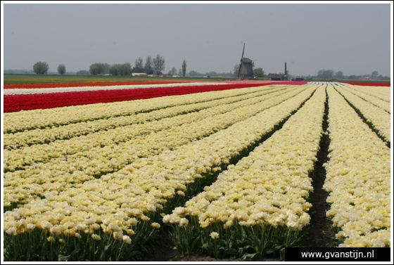 Veld02 Bollenvelden Noord-Holland<br><br> IMG_1117.jpg