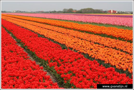Veld02 Bollenvelden Noord-Holland<br><br> IMG_1159.jpg