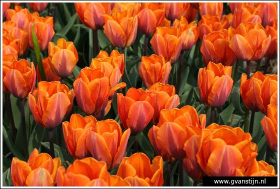Veld02 Bollenvelden Noord-Holland<br><br> IMG_1161.jpg