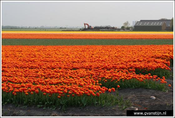 Veld03 Bollenvelden Noord-Holland<br><br> IMG_1189.jpg