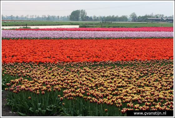 Veld03 Bollenvelden Noord-Holland<br><br> IMG_1220.jpg