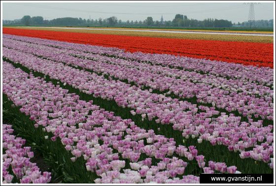 Veld04 Bollenvelden Noord-Holland<br><br> IMG_1226.jpg