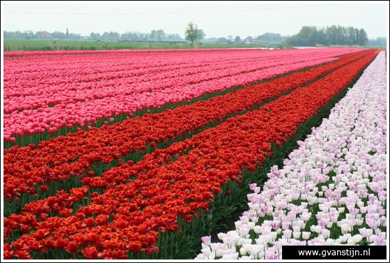 Veld04 Bollenvelden Noord-Holland<br><br> IMG_1227.jpg