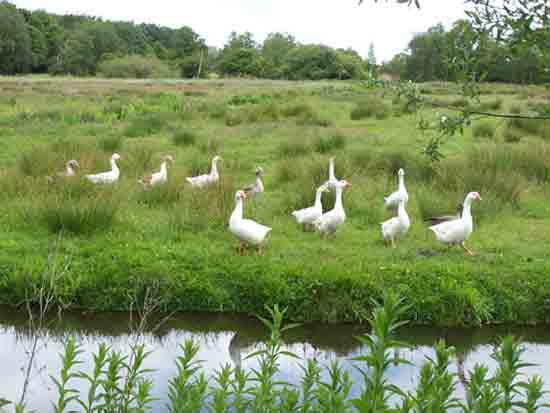 Kleine-Noord Natuurgebied, dus ook hier heel veel ganzen<br><br> 2480_Kleine_Noord_1325.jpg