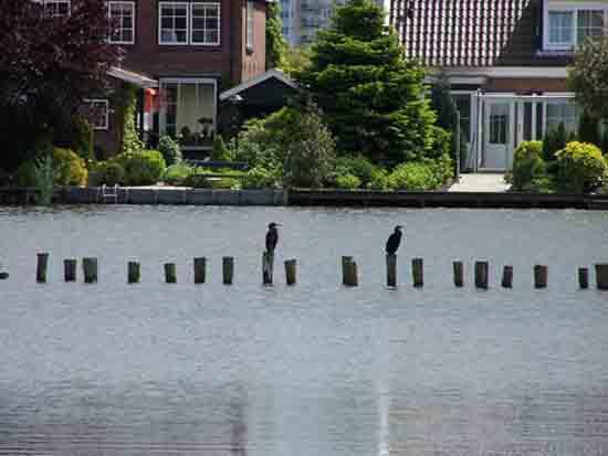 Kleine-Noord Aalscholvers op de Kleine Poel<br><br> 2530_Kleine_Noord_1337.jpg