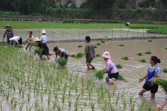 Shiqiao Het planten van de jonge rijstplantjes: zwaar werk<br><br> 0240_1348.jpg