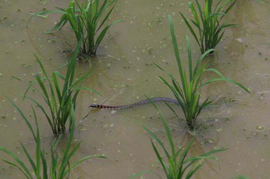 Langde Slang in een van de vele rijstterrassen bij Langde<br><br> 0510_1520.jpg