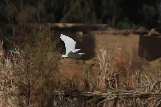 Farafra Witte reiger 0880-Farafra-Sahara-2770.jpg