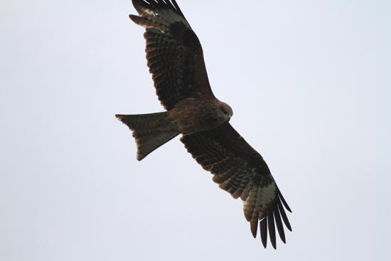 Srinagar1 Heel veel roofvogels te zien op het Nagin-meer <br><br> 0960-Nagin-Lake-Srinagar-Kashmir-3243.jpg