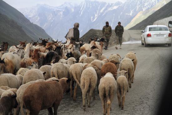 Zoji-La Schapen en geiten op de bergpas<br><br> 1710-Zoji-La-Pass-Kashmir-Ladakh-3766.jpg