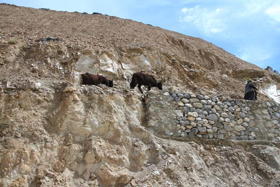 Lamayuru1 Yaks - niet zo heel vaak gezien tijdens de reis<br><br> 2130-Naar-Lamayuru-Ladakh-4052.jpg