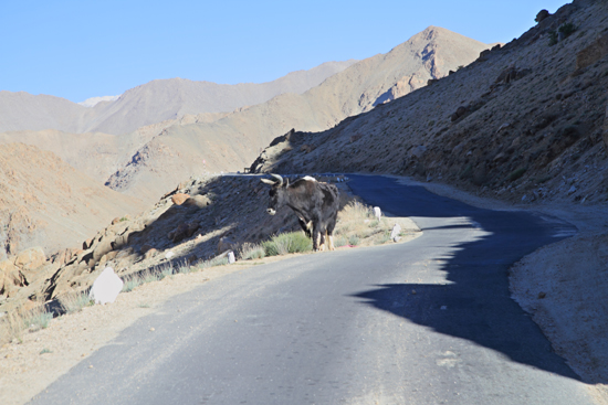 Khardung-La Een Dzo of Dzomo - kruising tussen yak en rund<br><br> 3510-Khardung-La-Pass-Ladakh-4944.jpg