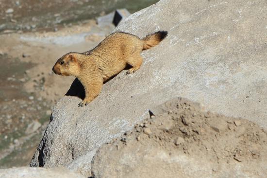 Khardung-La Marmot (ca. 50 cm)<br><br> 3540-Khardung-La-Pass-Ladakh-4965.jpg