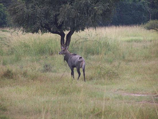 Bharatpur Keoladeo vogelpark Hert-Keoladeo-Park_3828.jpg