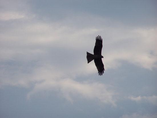 Fatehpursikri India is een paradijs voor roofvogels wegensde grote hoeveelheden afval,en dus ook ongedierte op straat Roofvogels-India_3876.jpg