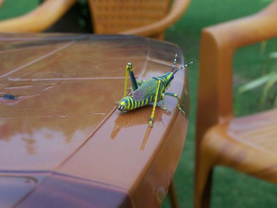 Naarmahansar Schitterende sprinkhaan Sprinkhaan-India_2593.jpg