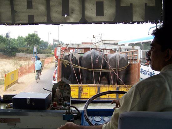 Naarmahansar Veevervoer in India Veevervoer-India_2583.jpg