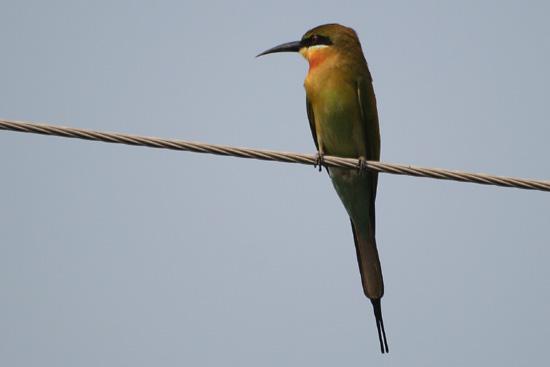 Cochin Bijeneter IMG_7390ps.jpg