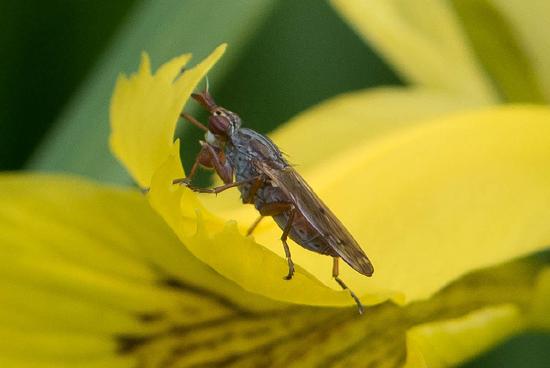 Macro03 Onbekend insect op Gele lis<br><br> Zwanenwater-4140.jpg