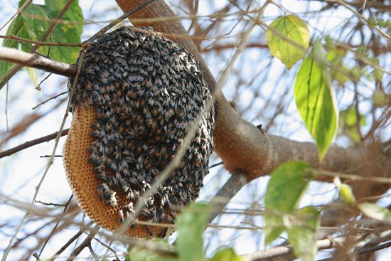 Bagan2 Even oppassen : Bijen !   2060_6212.jpg