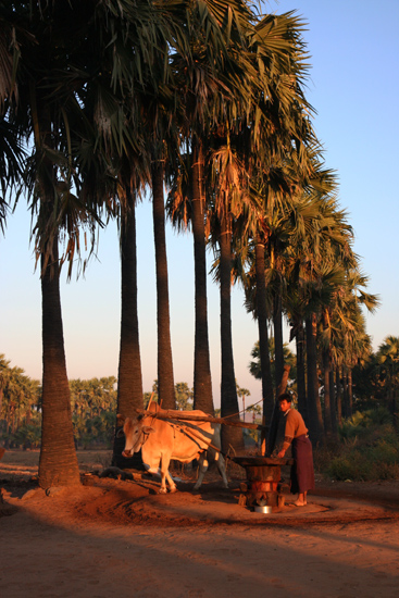 Mountpopa Palmsuikerfabriek bij zonsopgang   2270_6330.jpg