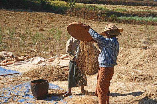 Pindaya Omgeving Pindaya Het handmatig dorsen van het graan   2863_6895.jpg