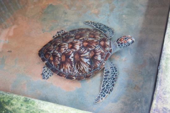 Kosgoda  Schildpaddencentrum  Prachtig volwassen exemplaar-0130