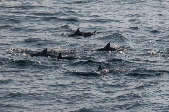 Mirissa De eerste dolfijnen tijdens het walvis-spotten-0280