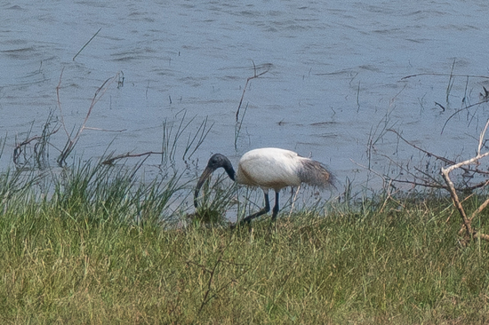 Yala National Park Black-headed Ibis-1080