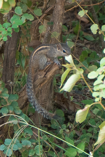Yala National Park Indische palmeekhoorn-1110
