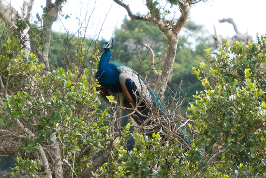 Yala National Park Pauw in boom-1130