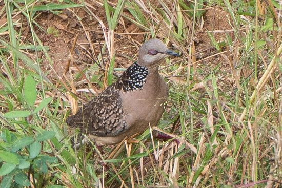 Yala National Park Spotted dove - parelhalstortel-1140
