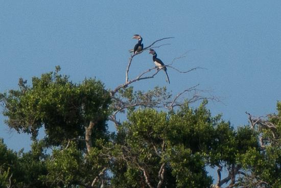 Yala National Park Een paartje Neushoornvogels-1300