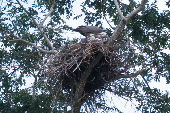 Udawalawe National Park Visarend in nest hoog in de boom-1560