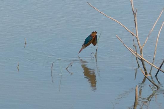 Udawalawe National Park IJsvogel in duikvlucht naar vis-1590