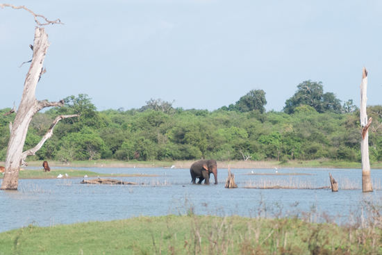 Udawalawe National Park-1600