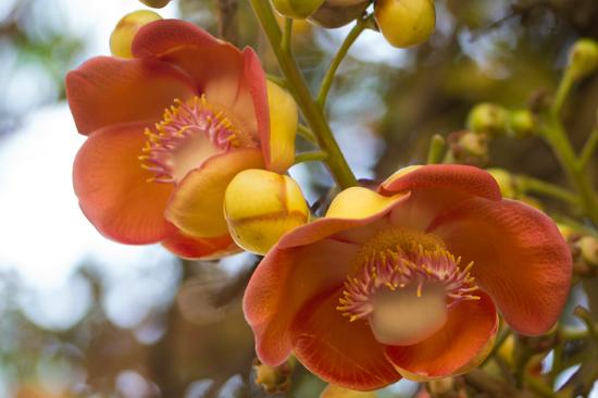Kandy - Paradeniya Royal Botanic garden  Bloem van Kanonskogel boom Couroupita guianensis-2070