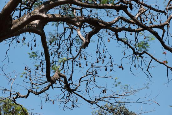 Kandy - Paradeniya Royal Botanic garden  Duizenden Vliegende honden in de Tembusu (Fagraea flagrants) bomen-2120