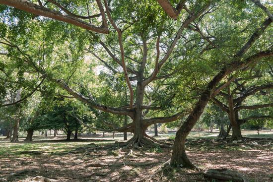 Kandy - Paradeniya Royal Botanic garden  Grote en grillig gevormde boom-2140