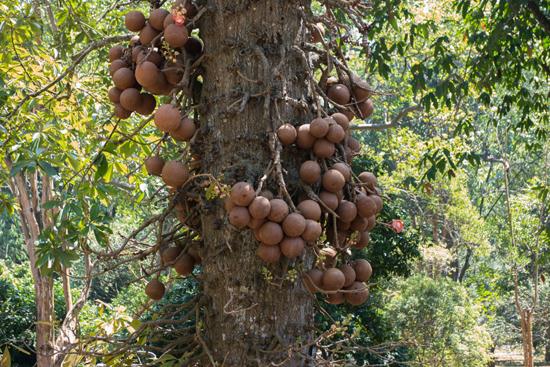 Kandy - Paradeniya Royal Botanic garden  Meeldraad van Vinnetjespalm - Fishtail palm -2170
