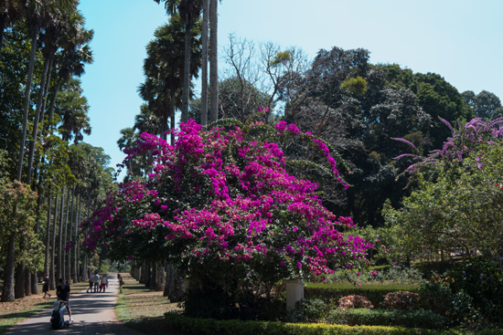 Kandy - Paradeniya Royal Botanic garden  Prachtig bloeiende Bougainville-2210