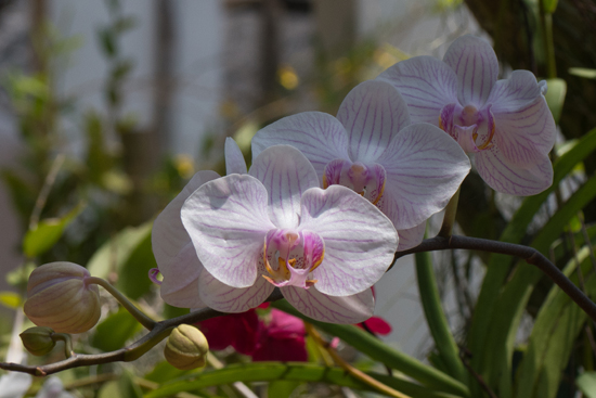 Kandy - Paradeniya Royal Botanic garden  Orchidee�n-2220