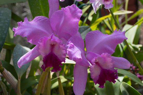 Kandy - Paradeniya Royal Botanic garden  Orchidee�n-2240
