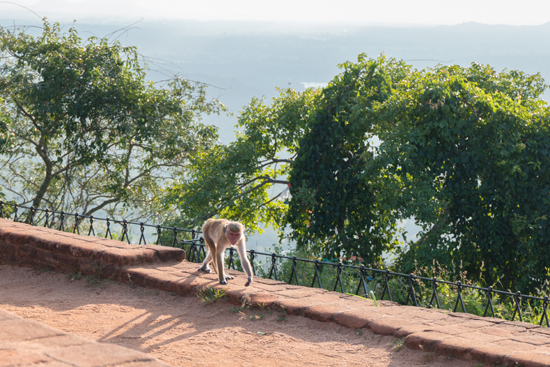 Sigiriya Leeuwenrots  Heel veel apen bovenop de rots-2630
