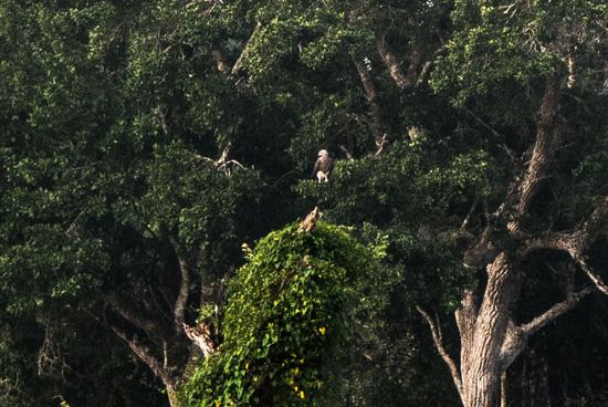 Wilpattu National Park  Visarend-3380