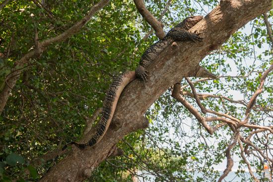 Negombo Indische varaan (Varanus salvator)-4380